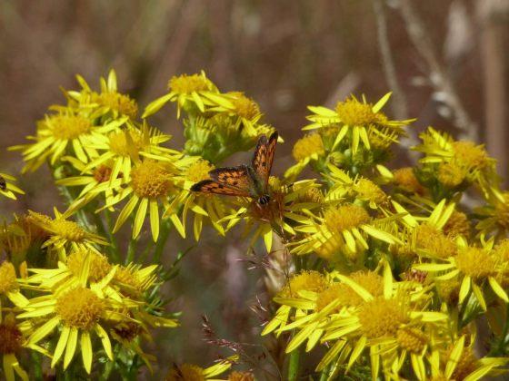 46-365Butterfly on flowers Orokonui Ecosanctuary, Dunedin