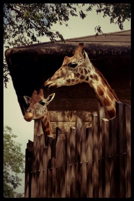 7-365 Giraffes. Taronga Park Zoo, Sydney,